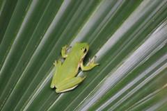 IMG_2450 (im2fast4u2c) Tags: green tree frog wildlife animal