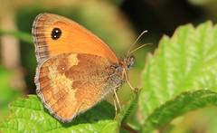 Gatekeeper - Martin Down Hamps -220716 (3) (ailognom2005-Catching up slowly.) Tags: gatekeeper martindownnnr hampshire butterflies butterfliesmothsandcaterpillars macro reserve naturereserves