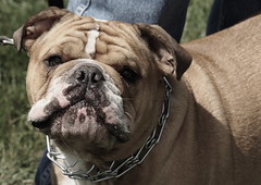 Dog Days, Cantigny Park. 15 (EOS) (Mega-Magpie) Tags: canon eos 60d outdoors cute dog puppy cantigny park wheaton dupage il illinois usa america pet