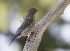 Juvenile Bluebird (Wandering Sagebrush) Tags: bluebirdjuveniledsc2293 westernbluebird sialiamexicana juvenile centraloregon