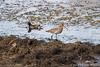 0310 Uferschnepfe + Teichhuhn (uwizisk) Tags: blacktailedgodwit india indien ranthambhorenationalpark teichralle gallinulachloropus uferschnepfe limosalimosa