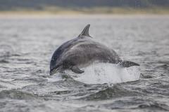 Common Bottlenose Dolphin (Tursiops truncatus) (adamcaird) Tags: dolphin nature natural seaside water wildlife outdoor outdoors mammal canon coast wave splash explore