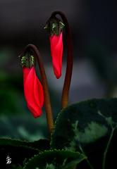 DSC_0778 -Cyclamen (Le To) Tags: nature plante fleurs flowers fiori