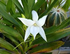 Angraecum sororium species orchid, 2nd bloom  7-16* (nolehace) Tags: angraecum sororium species orchid 716 fragrant white flower bloom plant summer nolehace fz1000 sanfrancisco
