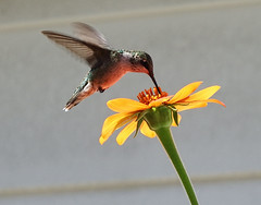 Humming Bird on Mexican Sunflower (kendoman26) Tags: hummingbird bird topazdetail topazsoftware mexicansunflower fuji fujifinepix fujifinepixs1