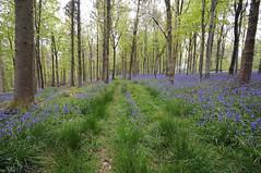 May Bluebells 18/52 (auroradawn61) Tags: uk flowers trees england bluebells week18 woods nikon branches may dorset bluebell wideanglelens 2015 52weeks explored carpetofflowers bulbarrow bluebellheaven 52weeksin2015project 52weeksin2015 maybluebells2015