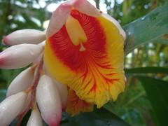 Ginger - lily  ... (libra1054) Tags: flowers flores nature fleurs lily natur blossoms blumen natura fiori zingiberaceae blüten gingerlily ingwergewächs