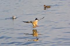 Landing 4/7 (bertrandwaridel) Tags: lake bird water birds switzerland march duck spring suisse lausanne landing ouchy pully lakegeneva vaud 2015 lakeleman lausanneouchy