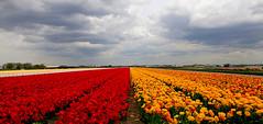Tulipanes holanda (DE TIERRA) Tags: paisajes flores holanda bulbos tulipanes