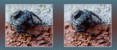 Phidippus Audax, Bold Jumper Up Close 1 - Parallel 3D (DarkOnus) Tags: macro brick closeup lumix spider stereogram 3d jumping close pennsylvania arachnid stereo jumper stereography buckscounty jumpingspider bold audax phidippus dmcfz35