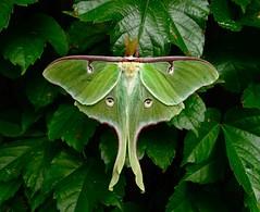 Luna Moth (scschwartz) Tags: green bug insect moth luna silkmoth actias nationalmothweek