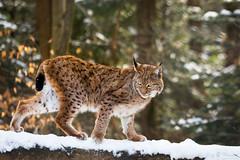 One a fallen tree (Cloudtail the Snow Leopard) Tags: wildpark pforzheim tier animal mammal säugetier winter schnee snow katze cat luchs lynx cloudtailthesnowleopard