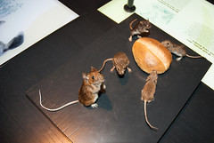Mice on a breadroll (quinet) Tags: berlin germany taxidermy mice souris museumofnaturalhistory 2010 mäuse museumfürnaturkunde langenachtderwissenschaften camera:model=nikond80 geo:country=germany geo:city=berlin geo:state=berlin empaillage exif:focallength=18mm camera:make=nikoncorporation exif:make=nikoncorporation exif:model=nikond80 exif:lens=180700mmf3545 exif:aperture=ƒ40 exif:isospeed=400 präparatoren geo:location=berlingermany longnightofscience