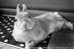 IMG_6687-1-2 (Rabbit's Album) Tags: pet cute rabbit bunny animals coco    netherlanddwarf    canonx7i x7i efs24mmf28stm