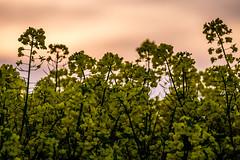 Rapeseed At Sunset (Neal_T) Tags: uk flowers sunset sky field yellow clouds spring fuji farming norfolk norwich oil fujifilm wayland rapeseed watton xt1 rapeseedoil scoulton