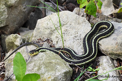 Couleuvre raye / Common garter snake (mitch099) Tags: nature garter animal spring quebec reptile snake common printemps animalia thamnophis reptilia raye sirtalis chordata serpentes squamata couleuvre natricidae micheleamyot mitch099