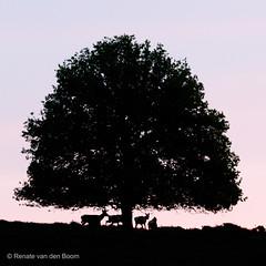 Early Morning Deer (Renate van den Boom) Tags: europa nederland zon veluwezoom jaar gelderland 2016 maand zonsopkomst edelhert zoogdieren 05mei renatevandenboom