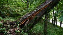 DSCN1418 (VerlynC) Tags: tree falling hickory