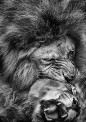 DSC_1439-Edit-3 (craigchaddock) Tags: 2 monochrome lion pro nik sandiegozoo etosha mbari pantheraleo efex blackandwhitebwsilver