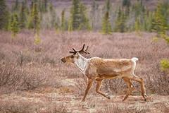 Caribou (frostnip907) Tags: nature alaska reindeer spring wildlife caribou