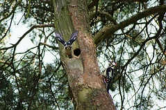 I hear you knocking (nancy II) Tags: tree bird nature pine scotland spring adult nest feeding wildlife may greatspottedwoodpecker 2016 dendrocoposmajor