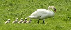 Swan Family (glostopcat) Tags: bird spring swan waterfowl cygnets glos muteswans slimbridge wildfowl wildfowlwetlandstrust
