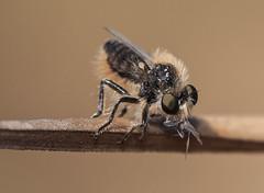 Eripogon laniger robber fly (Fotografa de Naturaleza de Paco Moreno Gmez) Tags: parque naturaleza fauna fly andaluca flora natural huelva sierra mosca picos robber fotografa asilidae aracena diptero aroche asilido