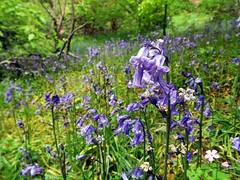 Blue Bells At Greenway House (crashcalloway) Tags: flowers nature bluebells flora devon greenway paignton southwestengland greenwayhouse
