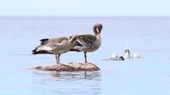 Young greylag gooses on a rock. (Anser anser) (Sirke Vaarma) Tags: anser hanhi merihanhi goose bird lintu sea meri