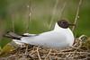 Brown-headed Gull (Chroicocephalus brunnicephalus) (Jan Ranson) Tags: 2016 kokmeeuw scotland brownheadedgull chroicocephalusbrunnicephalus