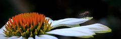 Macro Pano (Dyn Photo) Tags: flower flowers fly pano white petal orange macro