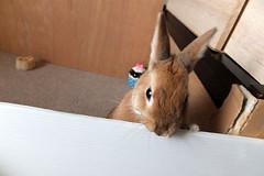 Ichigo san 245 ICHIGO san  (mensore) Tags: family pet brown cute rabbit bunny dwarf netherland ichigo   netherlanddwarf