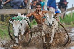 s Jul30_PJ_DSC_6193 (Andrew JK Tan) Tags: pacujawi tanahdatar sumatra cows racing race splashes mud indonesia