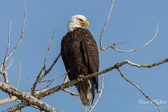 Fantastic Bald Eagle