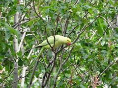 perroquet_000 (fre3darchi) Tags: vert perroquet marronnier