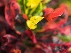 Red and Yellow Leaves (marlene frankel) Tags: plant leaves depthoffield smalldof