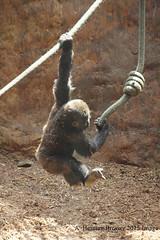 Gorilla Play (Herman Bresser:) Tags: baby hands gorilla fingers rope swing ape swinging grip juvenile climbingrope