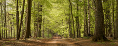 beech avenue (NED_KELLY_GUY) Tags: wood trees panorama green woodland landscape moss spring ancient quiet peace sony chilterns peaceful route unknown canopy avenue dappled beech pathway hertfordshire beechtree guiding woodscape bej nex6 sel1018