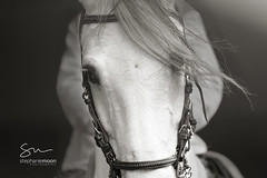 IMG_9294 (littlechefstef) Tags: horse whitehorse equine horseriding wildhorse pasofino grayhorse equineaffaire horseart equineart equinephotography blackandwhitehorse horsephotography stephaniemoon