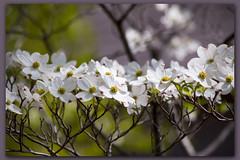 Dogwood (II) (gtncats) Tags: tree nature outside outdoors dogwood autofocus dogwoodtree ef70300mm dogwoodblossoms canon70d photographyforrecreation frameitlevel01 infinitexposure