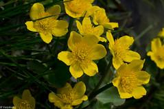 Rentukka / Kingcup (Varjokuvia) Tags: flower macro ruissalo kingcup kukka rentukka