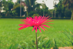 Pink (Fajar Pangestu) Tags: plant flower nature beautiful indonesia interesting fuji blossom bokeh fujinon x10 fujifilmx10 fujix10