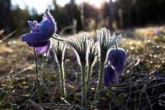20150504-IMG_3445_Karukell (Enn Raav) Tags: flower nature spring frosty loodus blooming pulsatilla kevad pulsatillapatens karukell ied palukarukell