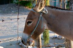 Domingo en Tapizuelas (Brujo+) Tags: donkey burro jumento