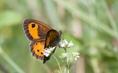 Tityre - (Pyronia bathseba) - IMG_2749 (6franc6) Tags: 30 rando mai papillon languedoc gard balade 2015 velo 6franc6
