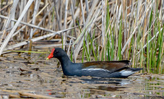 Common Gallinule (Summerside90) Tags: ontario canada nature birds spring wildlife may birdwatcher longpoint commongallinule