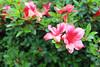 IMG_3001.JPG (robert.messinger) Tags: flowers rhodies