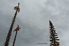 A cloudy day - Zacatecas (Polycarpio) Tags: plant planta mexico desert cloudy zacatecas desierto nublado chicomostoc laquemada villanueva semidesierto semiariddesert