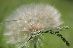 Fluff (Linda Dyer Kennedy) Tags: white plant green catchycolors weed head seed fluffy salsify