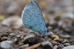 Holly Blue (Pittypomm) Tags: uk blue butterfly insect path somerset holly gravel taunton celastrina argiolus